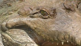 Angry Face Of Orinoco Crocodile, Colombia Zoo. Extreme close-up low angle close-up low angle still shot of the face of an angry huge Oronoco Crocodile with its stock footage