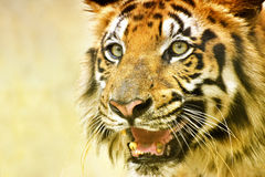 Angry face of Royal Bengal Tiger, Panthera Tigris, India. Beautiful angry face of Royal Bengal Tiger , Panthera Tigris, West Bengal, India - tinted image . It is royalty free stock photos