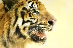 Angry face of Royal Bengal Tiger, Panthera Tigris, India. Beautiful angry face of Royal Bengal Tiger , Panthera Tigris, West Bengal, India - tinted image . It is stock photos