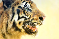 Angry face of Royal Bengal Tiger, Panthera Tigris, India Royalty Free Stock Photos