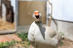Angry Farm Goose Stock Photos