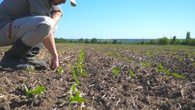 Angry farmer examining dry soil on the field with sprouts of sunflower on summer. Young disappointed man checking small. Green seedlings on sunny day stock footage