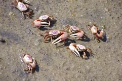 Angry Fiddler Crabs Stock Photography