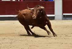 Spanish black bull. Angry and fierce bull in spain in bullring with big horns stock photo