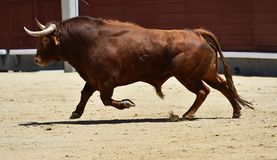 Spanish bull in bullring. Angry and fierce bull in spain in bullring with big horns stock image