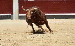 Spanish bull in bullring. Angry and fierce bull in spain in bullring with big horns stock photo