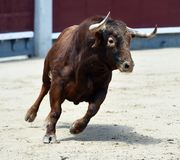 Spanish bull in bullring. Angry and fierce bull in spain in bullring with big horns stock images