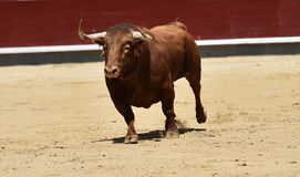 Spanish bull in bullring. Angry and fierce bull in spain in bullring with big horns royalty free stock photos