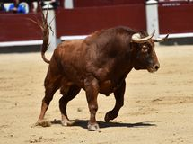 Spanish bull in bullring. Angry and fierce bull in spain in bullring with big horns royalty free stock image