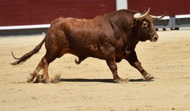 Spanish bull in bullring. Angry and fierce bull in spain in bullring with big horns Stock Photos