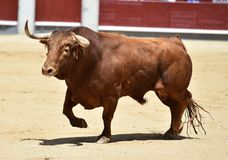 Spanish bull in bullring. Angry and fierce bull in spain in bullring with big horns Royalty Free Stock Photo