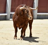 Spanish bull in bullring. Angry and fierce bull in spain in bullring with big horns royalty free stock images