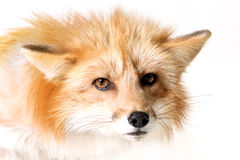 Angry Fox. Studio portrait of a Red Fox isolated on a white background Stock Image