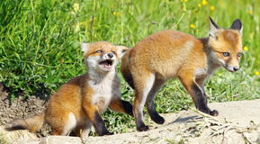 Angry fox baby Royalty Free Stock Images