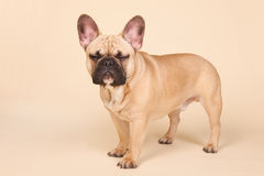 Angry French bulldog Stock Images