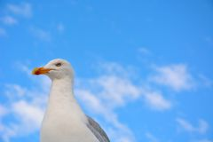 Angry but funny looking seagull Stock Photo