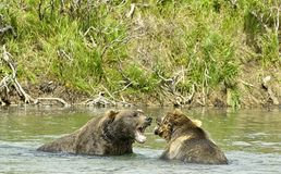 Angry giant brown bears in Katmai royalty free stock photo