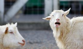 Angry Goat Stock Photo