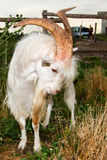 The angry he-goat. Royalty Free Stock Image
