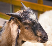 Angry goat Royalty Free Stock Photography