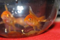 Angry gold fish blurred background