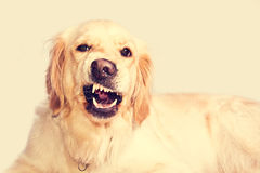 Angry golden retriever dog. Angry golden retriever dog shows teeth. Pets royalty free stock photos