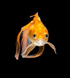 Angry Goldfish. Goldfish on a black background Stock Photos