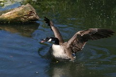 Angry goose. Angry Canada goose royalty free stock image