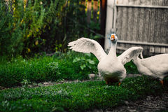 Angry goose walking in the village on the lawn Stock Photography