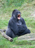 Angry gorilla Royalty Free Stock Images