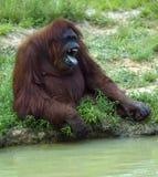 Angry Gorilla. A Gorilla yells and make a menacing face Stock Photo