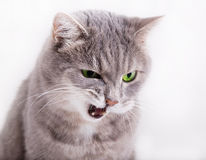 The angry gray cat with green eyes looks down, having blinked th Royalty Free Stock Image