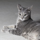 Angry gray cat Stock Images