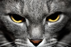 Angry gray cat portrait. Royalty Free Stock Photography