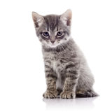 Angry gray kitten. Stock Photos