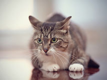 Angry gray striped cat with green eyes. Royalty Free Stock Photography