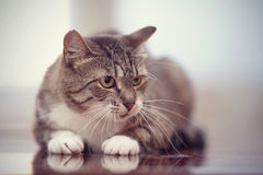 Angry gray striped cat with green eyes. Royalty Free Stock Image