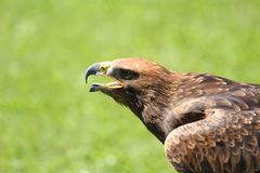 Angry Great Eagle with open beak and tongue out Royalty Free Stock Photo