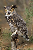 Angry Great Horned Owl. Angry looking Great Horned Owl in a pine tree Stock Images