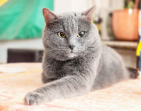 Angry grey cat Stock Images