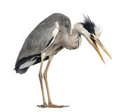 Angry Grey Heron, screaming, looking down, Royalty Free Stock Photo