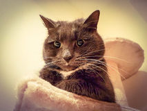 Angry grumpy cat. Grey cat sitting on cat tree bed looking grumpy annoyed angry frowning looking straight at camera Stock Images