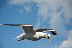 Angry gull Royalty Free Stock Photo
