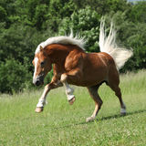 Angry haflinger stallion jumping in nature