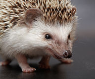 Angry hedgehog looks at you Stock Photo