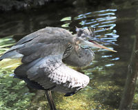 Angry Heron in water Royalty Free Stock Photo