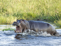 Angry Hippo. Hippopotamus  (Hippopotamus amphibius) charging in shallow water to attack a rival Stock Photos