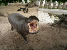 Angry hippo. Angry looking hippo showing teeth Stock Photography