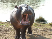 Angry Hippo Stock Photography