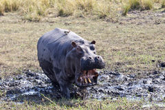 Angry Hippo. An agitated hippo gives a warning Stock Image